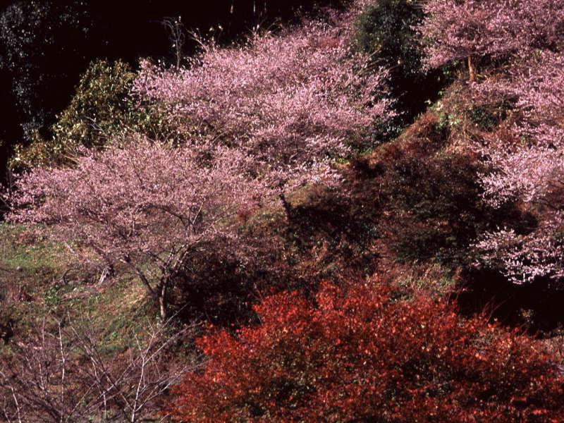 shikizakura-3.jpg